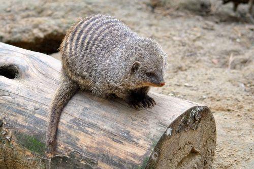mongoose mammal animal
