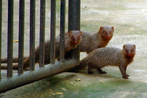 mongoose gray indian