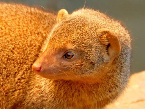 mongoose animal creature