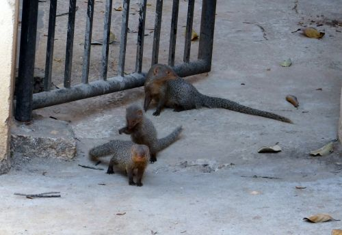 mongoose gnawer rodents