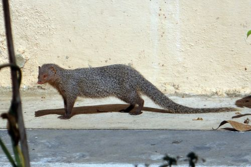 mongoose gnawer rodent