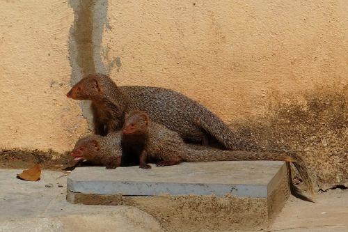 mongoose mama youngs