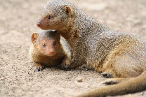 mongoose animal africa