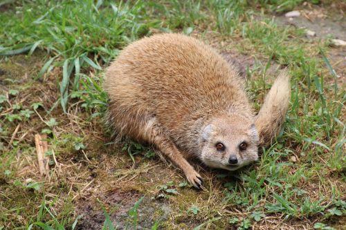 mongoose eyes face