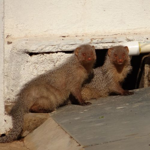 mongoose rodents indian