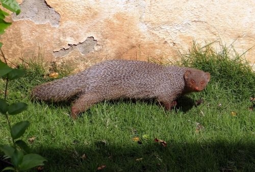 mongoose indian grey mongoose rodent