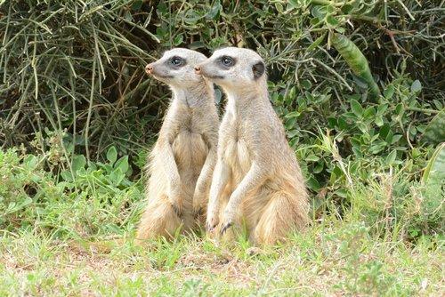 mongoose  wildanimal  meerkat