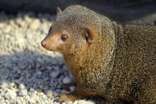 mongoose  zwergmanguste  zoo