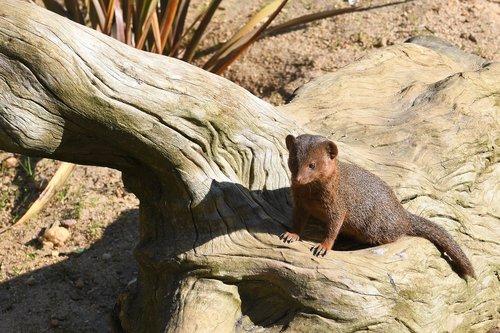 mongoose  mongoose dwarf  zoo