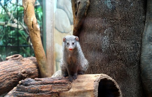 mongoose  rodent  animal