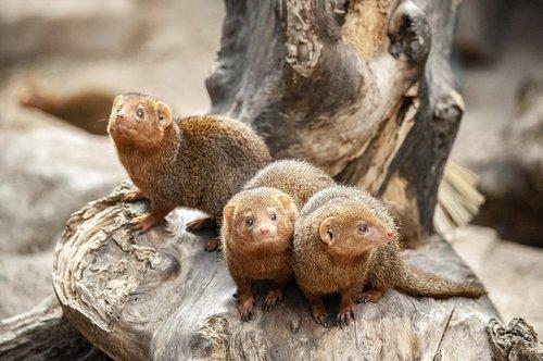mongoose  mammal  small