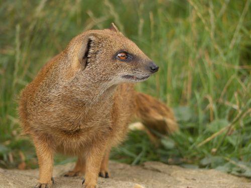 mongoose golden mongoose cute