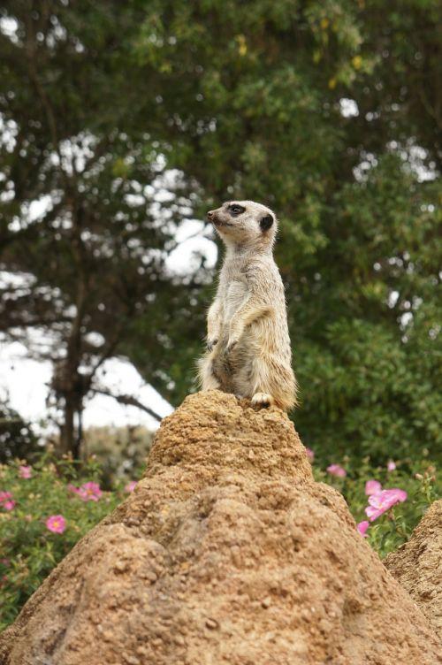 mongoose animal zoo