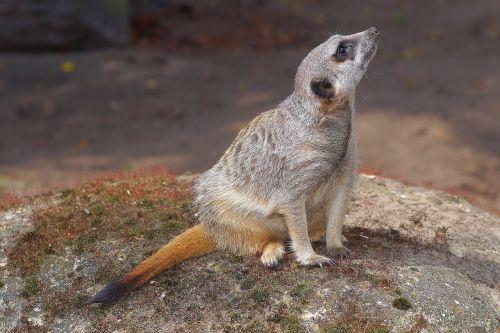 mongoose meerkat mammal