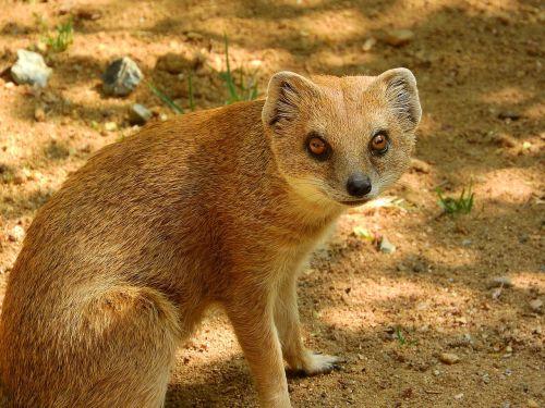 mongoose fox mongoose cynictis penicillata