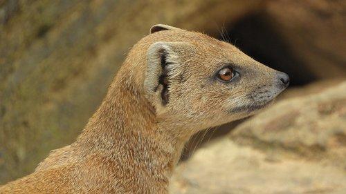 mongoose fox  african beast  mongoose