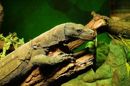 monitor lizard  lizard  monitor