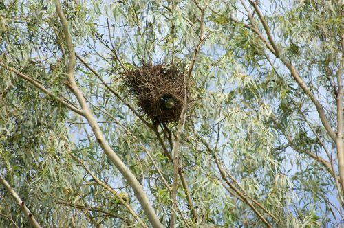vienuolis parakeetas,papūga,paukštis,medis,lizdas,paragvajus,Pietų Amerika