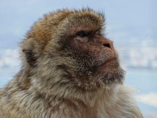 monkey barbary ape gibraltar
