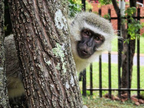 monkey vervet animal