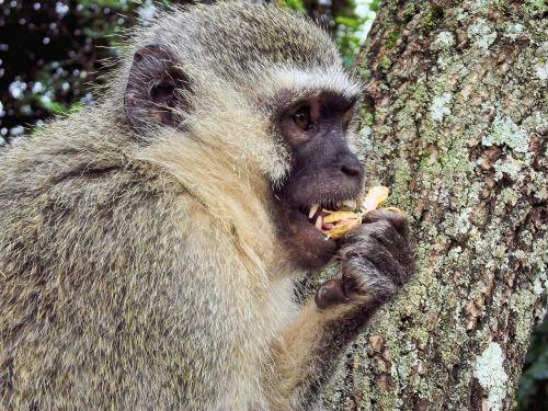 monkey monkeys animal