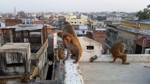 monkey varanasi on the roof