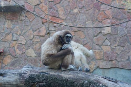 monkey gibbon white