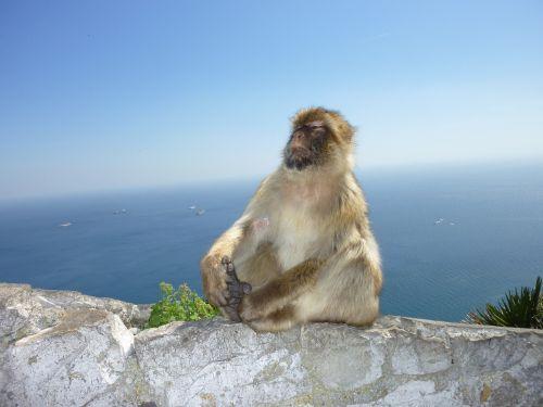 monkey gibraltar monkey mountain