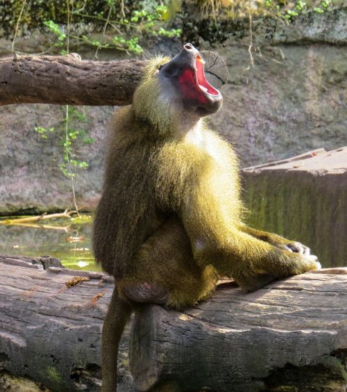 monkey baboon roar