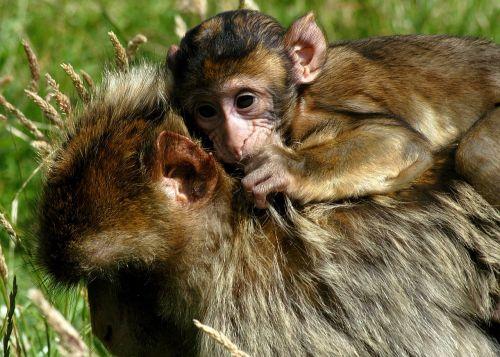 beždžionė,žemė,kūdikis,žinduolis,laukinė gamta,patrauklus,parkas,patrauklus,žavus,mielas,mažai,žaisti,valgyti,gamta