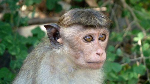 monkey makake sri lanka