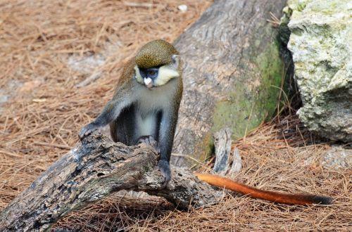 monkey white-nosed monkey monkey-tailed