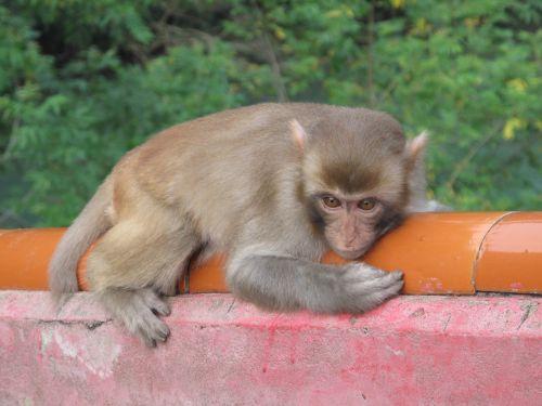 monkey macaque afraid