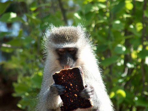 monkey africa drakensberg