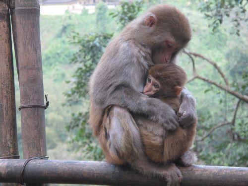 monkey macaque animal