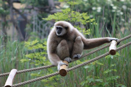 gibbon monkey zoo