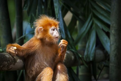 monkey red primates