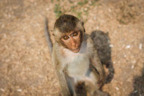 monkey thailand lop buri