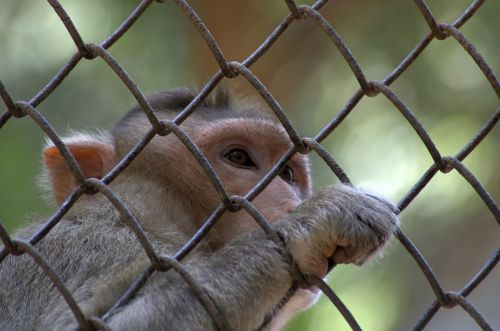 monkey rhesus macaque macaca radiata