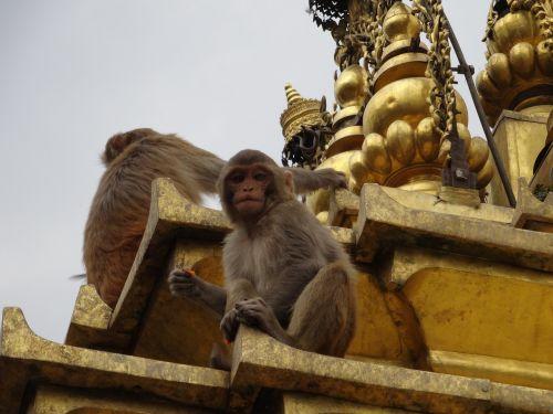 monkey swayambhunath kathmandu