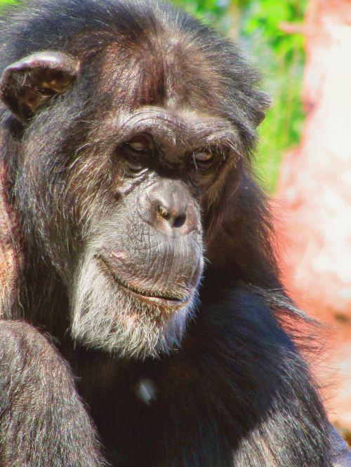 monkey chimpanzee animal