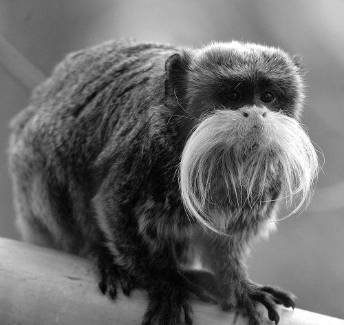monkey animal primate