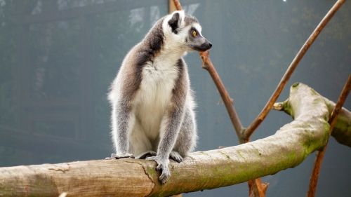 monkey ring-tailed lemur maki