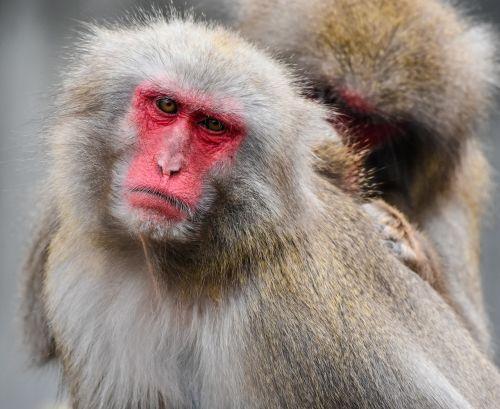 japan monkey zoo wilhelma