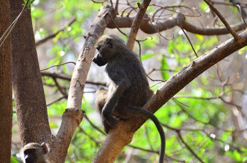monkey tanzania animals