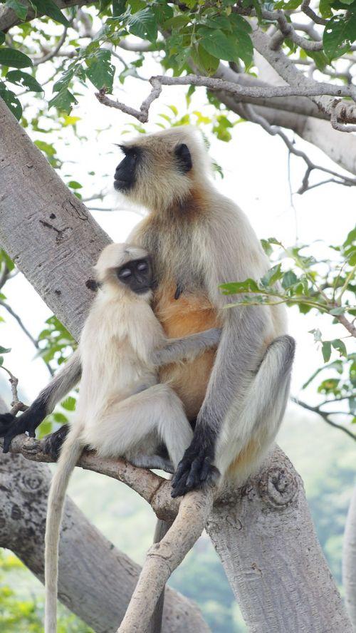 beždžionė,motinos beždžionė,vaikiška beždžionė,laukinė gamta,gyvūnas,ilgaplaukiai