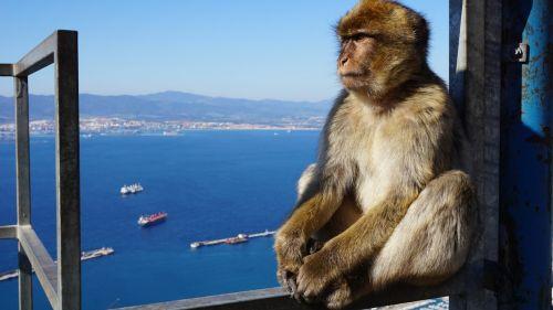 monkey gibraltar rock