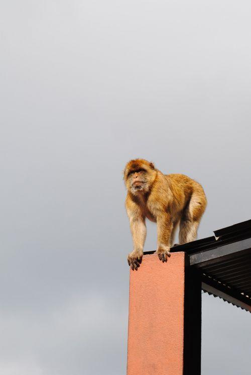 monkey gibraltar spain