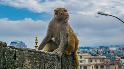 monkey staring monkey posing monkey