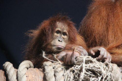 monkey animals orangutan